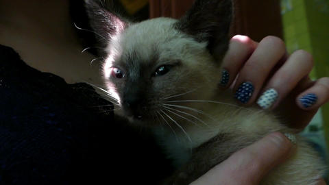 A tiny siamese kitten on female hands in a flat Footage