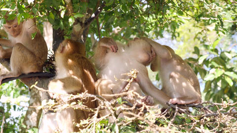 Funny Small Wild Monkeys Family Eating Leafs and Sitting on a Tree in Park Footage