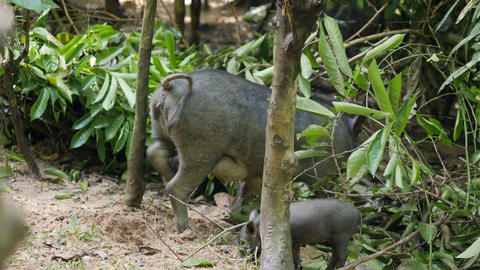 Big Wild Boar Mama Pig with Cute Piglets Run Away In Thai Rainforest Jungle. 4K Footage