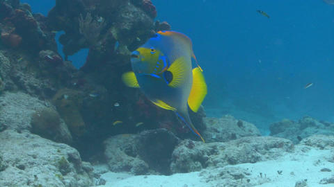 Blue and yellow fish chasing food Live Action