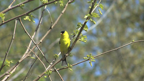 American goldfinch in tree Live Action