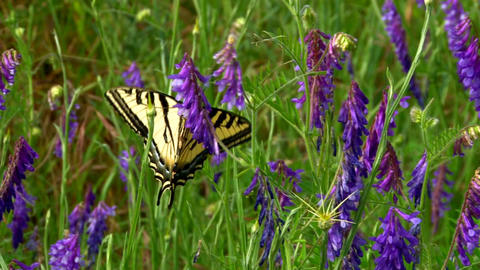 Beautiful butterfly in purple flowers Live Action