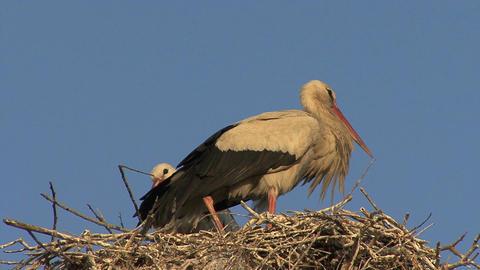 Birds in nest Footage