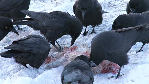 Black crows eating dead hare in the snow Live Action