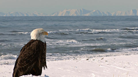 Bald eagle looking out at scenic sea and distance mountains Live Action