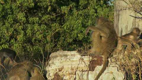 Baboon sitting on pole Live Action
