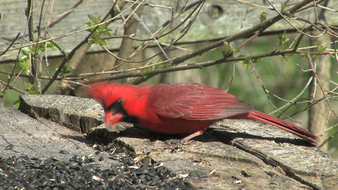 Cardinal eating from log Live Action