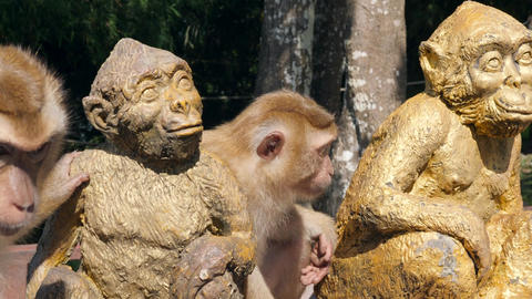 Cute Wild Monkeys Sitting with Primate Statue in Tropical Park. Phuket Town Footage