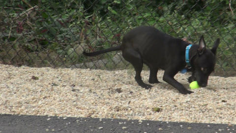 Black dog playing with ball Footage