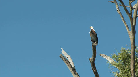 African fish eagle in tree Live Action