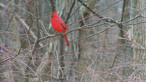 Cardinal in woods Live Action