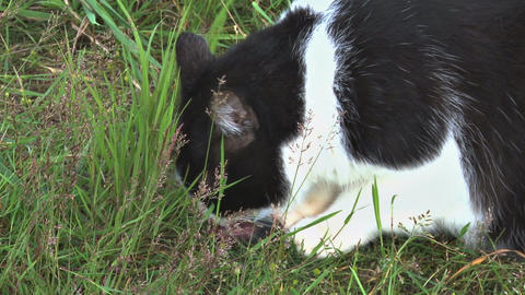 Cat eating a mouse in the grass Footage