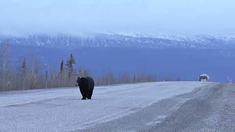 Black bear on the highway as truck is approaching Footage