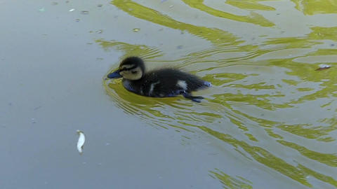 A funny duckling swims to its mother duck in green lake waters Footage