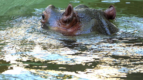 a Happy Hippo Who Turns Around in The Water And Enjoys Its Life in Slow Motion Live Action