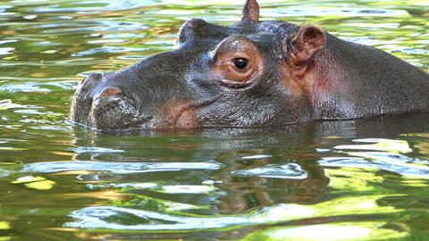 a Funny Hippopotamus Swims And Dives in a Pond in Summer in Slow Motion Footage