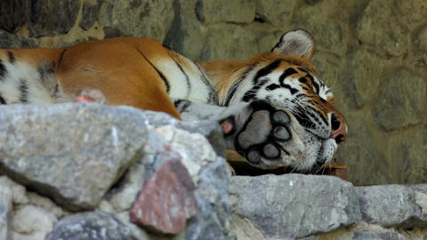 a Big Sleeping Striped Tiger in a Zoo in Summer in Slow Motion Footage