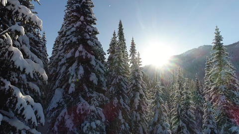 snow-covered fir forest Filmmaterial