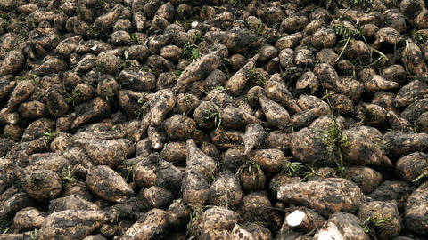 Harvest sugar beet in a country field Footage