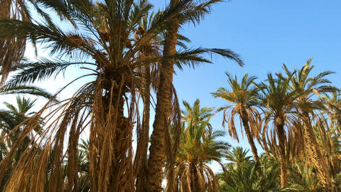 Walking Through Oasis In Africa. Palm Trees Plant Live Action