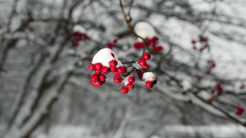 Red berries of mountain ash with snow ビデオ