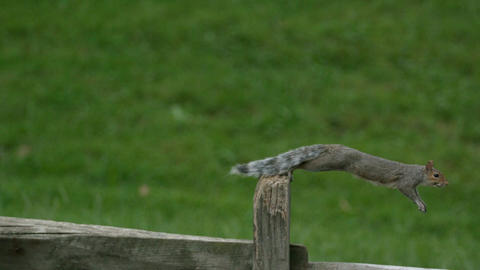 Slow motion squirrel jumping Archivo