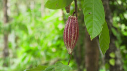 Cocoa tree with fruit, Bali Indonesia Footage