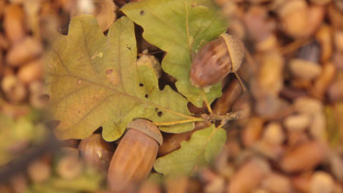 Study with a magnifying glass, rotating background made from acorns. Leaf and Footage