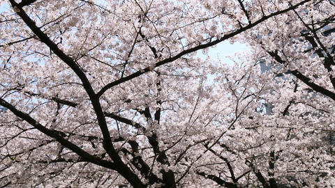Low angle shot of blooming cherry blossoms in bright sunshine Footage