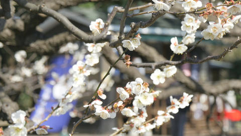 Blooming plum trees at Hamarikyu gardens, and out of focus people in the backgro Footage
