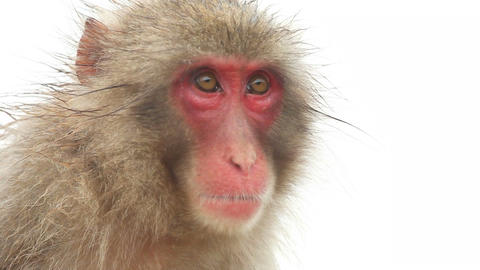 Japanese Monkey In The Rain Stock Video Footage