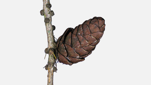 Time-lapse of opening larch cones with ALPHA channel Image