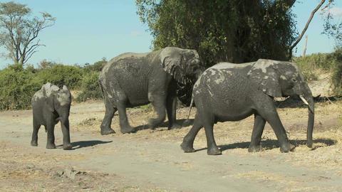 Baby elephant Footage