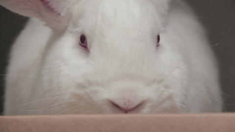 Close up white rabbit Live Action