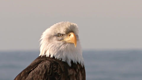 Close up of bald eagle head Live Action