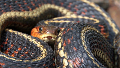 Colorful garter snake coiled Live Action