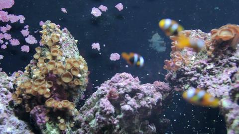 Clown fish underwater Footage
