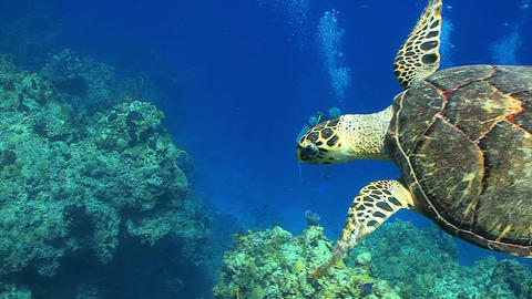 Divers watch big sea turtle swim away Live Action
