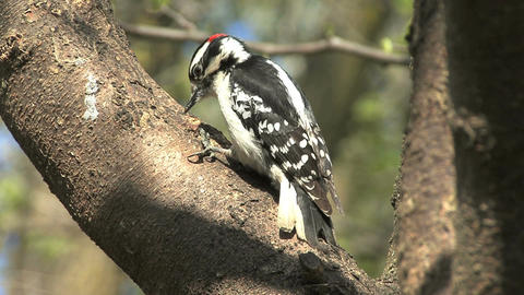 Downy woodpecker male Live Action