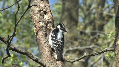 Downy woodpecker female Live Action