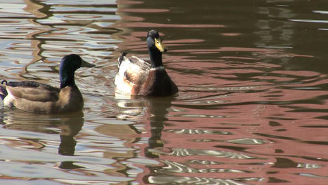 Ducks on silver lake reflections Footage