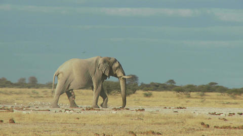 Elephant in dry field Live Action