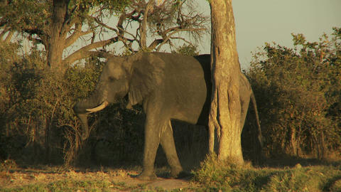Elephant scratching on a tree Live Action