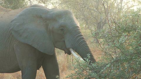 Elephant eating Footage