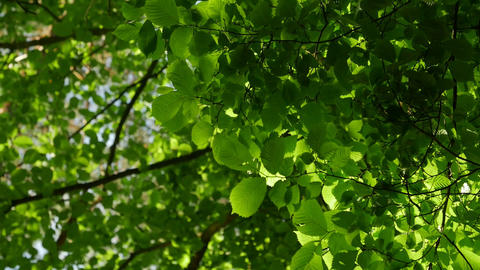 Sunlight makes its way through the leaves of the trees. Solar glare in a dense Footage