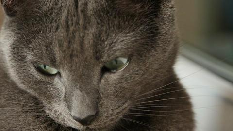 Sleepy Russian Blue Cat, Close Up, Hand Held Camera Footage