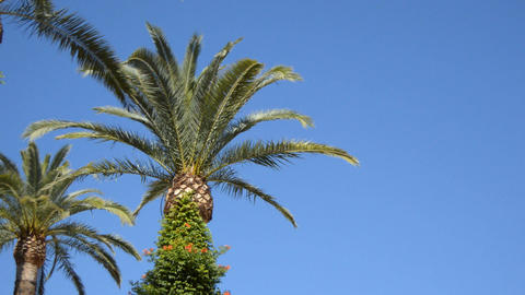 Big Palm Tree Against Clean Blue Sky 画像