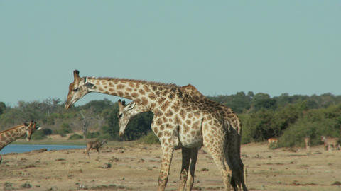 Giraffes fighting Live Action