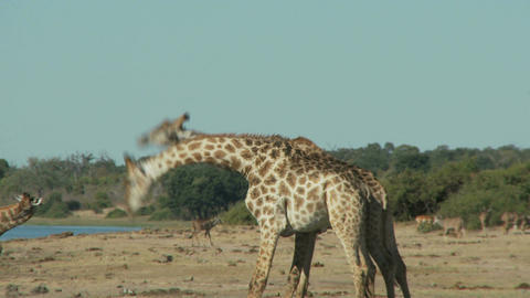 Giraffes fighting, Live Action