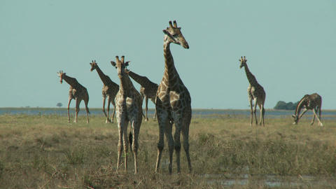 Group of giraffes Live Action